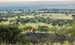 Roaring Lion in the Serengeti