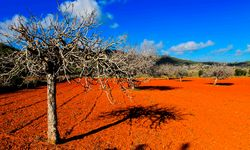 A Red Field with a Gnarled Tree