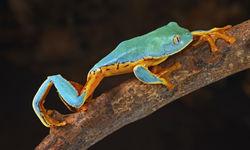 Frog in Latin America