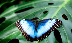 Blue butterfly in tropical rainforest