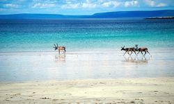 Reindeer on the Beach - Finnmark County