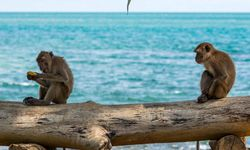 Monkeys Sitting by the Sea
