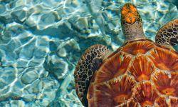 Sea turtle, French Polynesia