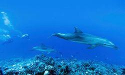 Dolphins swimming through the Tiputa Pass