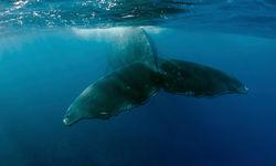 Humpback Whale, Tahiti