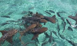 Amberges Caye Nurse Sharks Belize
