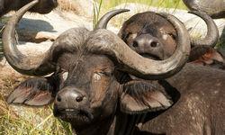 The Selous Buffalo
