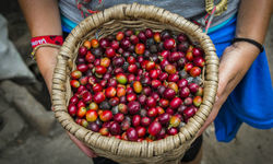 Freshly picked coffee in a basket