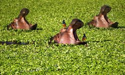 Hippos in leaves