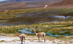 Llama in the Chilean Desert