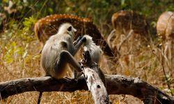 Monkey inspecting a baby monkey