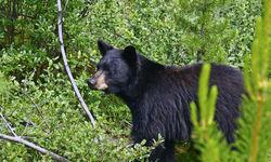 Black Bear Rocky Mountains