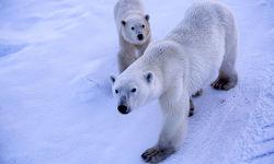 Two Polar Bears in Churchill