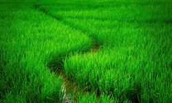 A Path Snaking Through the Rice Paddies