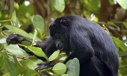 Howler Monkey Belize