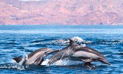 Baja California dolphins