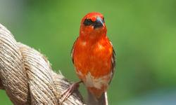 Fody Bird, Madagascar