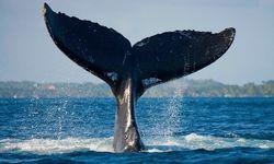 Humpack Whale Fin