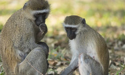 Monkeys in Liwonde National Park, Milawi