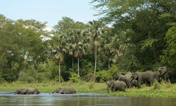 Elephants Crossing the River