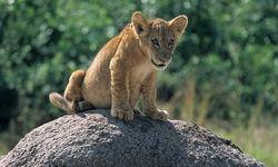 lion cub queen elizabeth national park