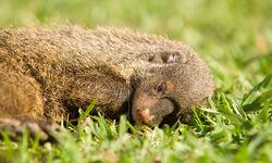 sleepy mogoose