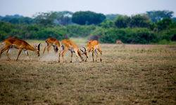 antelope playing
