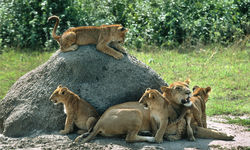 lion pack queen elizabeth national park