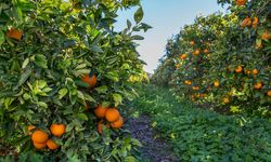 A Citrus Grove in Eastern Spain