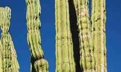 Cactii, Baja California