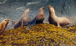 Steller Sea Lions in British Columbia