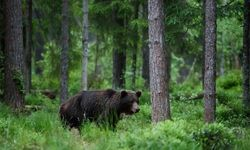 Bear in Estonia