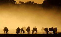 Herd of Wildebeest dusk