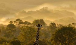 Giraffe in Waterberg