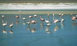 Flamingoes in a Lake