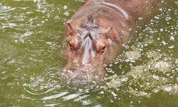 Western Tanzania Hippo