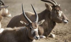 Western Tanzania Impala