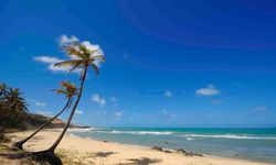 Pipa Palm Trees