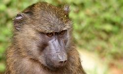 monkey murchison falls