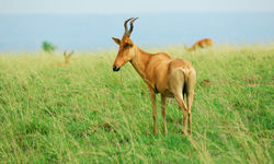 antelope murchison falls