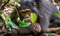 chimpanzee lying down kibale forest