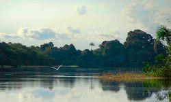 Bird Flying over the Amazon River