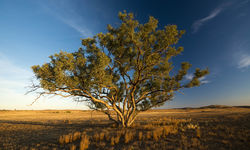 Lonely tree in the Outback