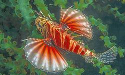 Venomous reef fish