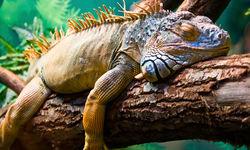 A Sleeping Iguanza
