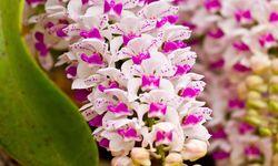 Thai Orchids