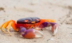 Nicoya Peninsula colourful crab