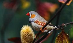 African Finch, Bazaruto Archipelago
