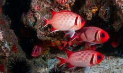 Red Fish, Mozambique