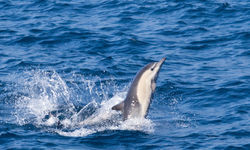 West Coast Mexico, Dolphin